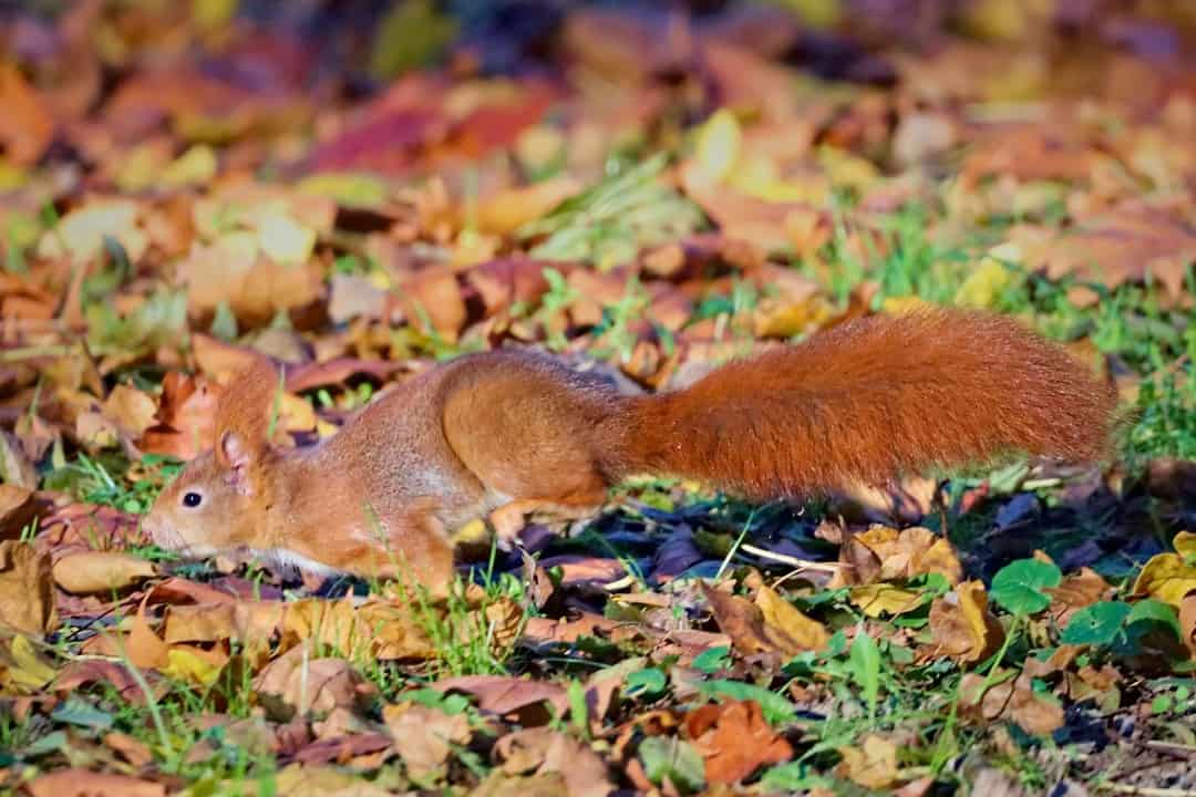 A squirrel lying on the ground